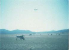 Argentina, Saavedra, 1981, únos krávy